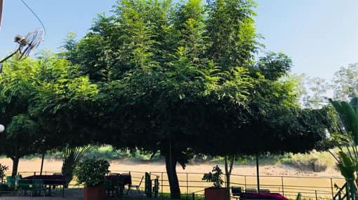 Putranjiva Plants
